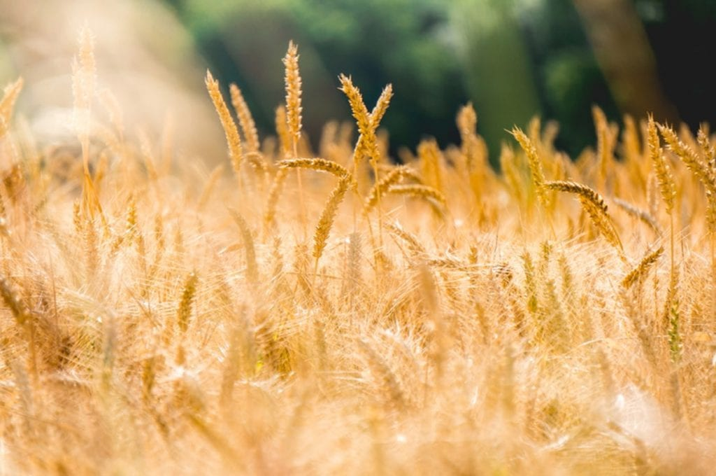 Photograph of a wheat field.