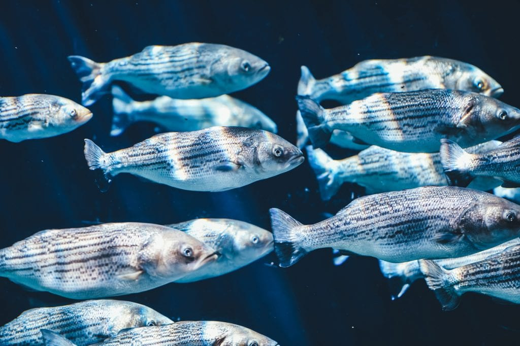 Photograph of a school of fish.